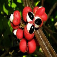 Guarana, amazon seed with high level of natural cafeine.